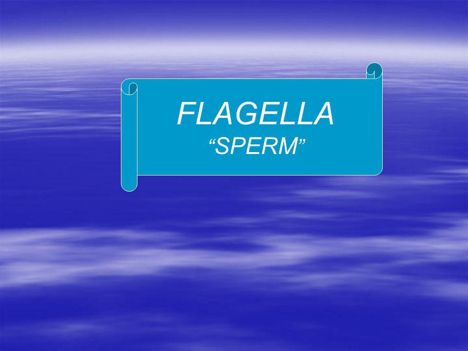 FLAGELLA SPERM