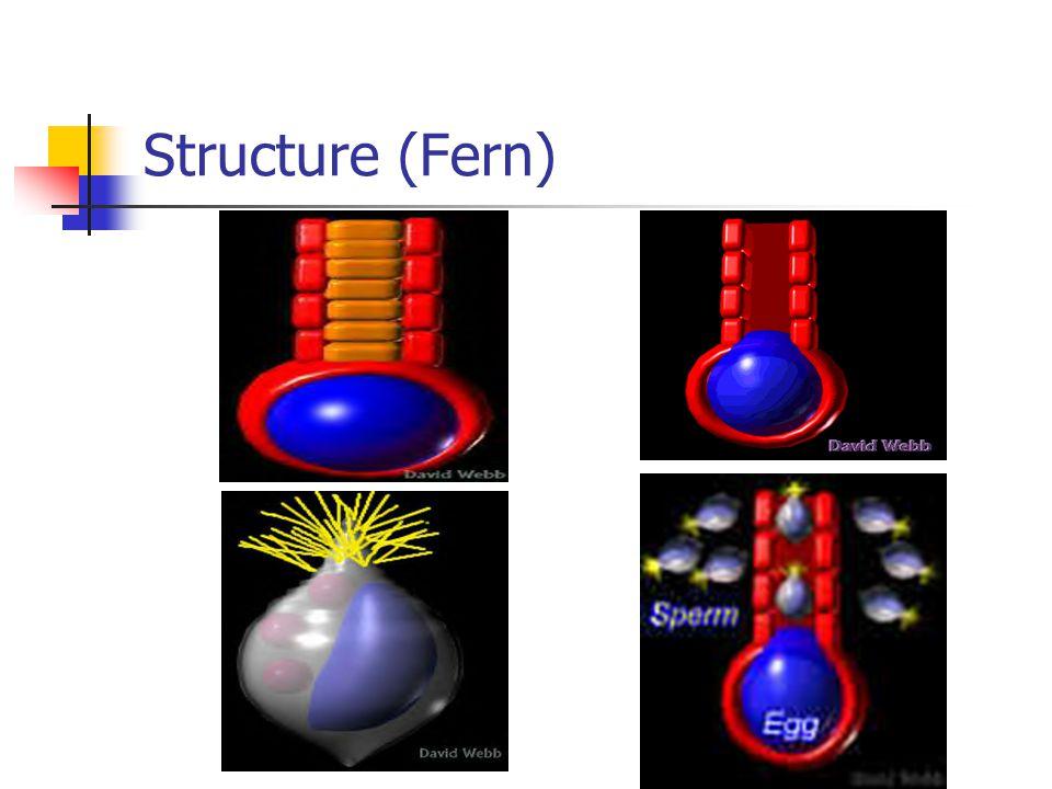 Structure (Fern)