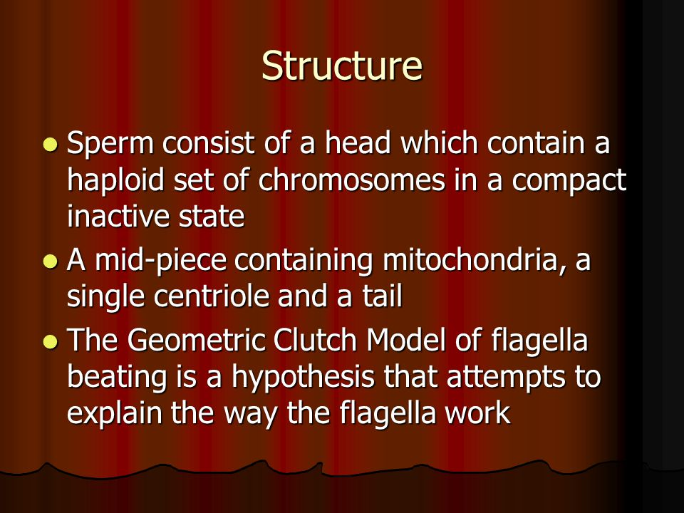 Structure Sperm consist of a head which contain a haploid set of chromosomes in a compact inactive state Sperm consist of a head which contain a haploid set of chromosomes in a compact inactive state A mid-piece containing mitochondria, a single centriole and a tail A mid-piece containing mitochondria, a single centriole and a tail The Geometric Clutch Model of flagella beating is a hypothesis that attempts to explain the way the flagella work The Geometric Clutch Model of flagella beating is a hypothesis that attempts to explain the way the flagella work