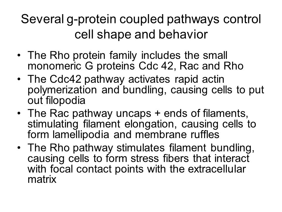 Several g-protein coupled pathways control cell shape and behavior The Rho protein family includes the small monomeric G proteins Cdc 42, Rac and Rho The Cdc42 pathway activates rapid actin polymerization and bundling, causing cells to put out filopodia The Rac pathway uncaps + ends of filaments, stimulating filament elongation, causing cells to form lamellipodia and membrane ruffles The Rho pathway stimulates filament bundling, causing cells to form stress fibers that interact with focal contact points with the extracellular matrix