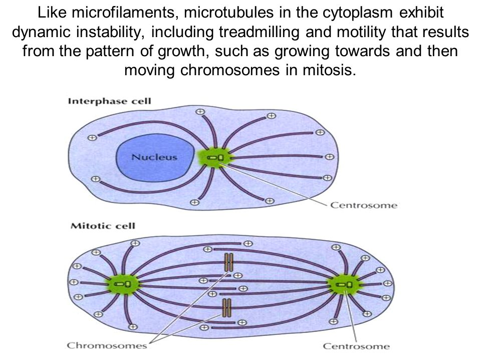 Like microfilaments, microtubules in the cytoplasm exhibit dynamic instability, including treadmilling and motility that results from the pattern of growth, such as growing towards and then moving chromosomes in mitosis.