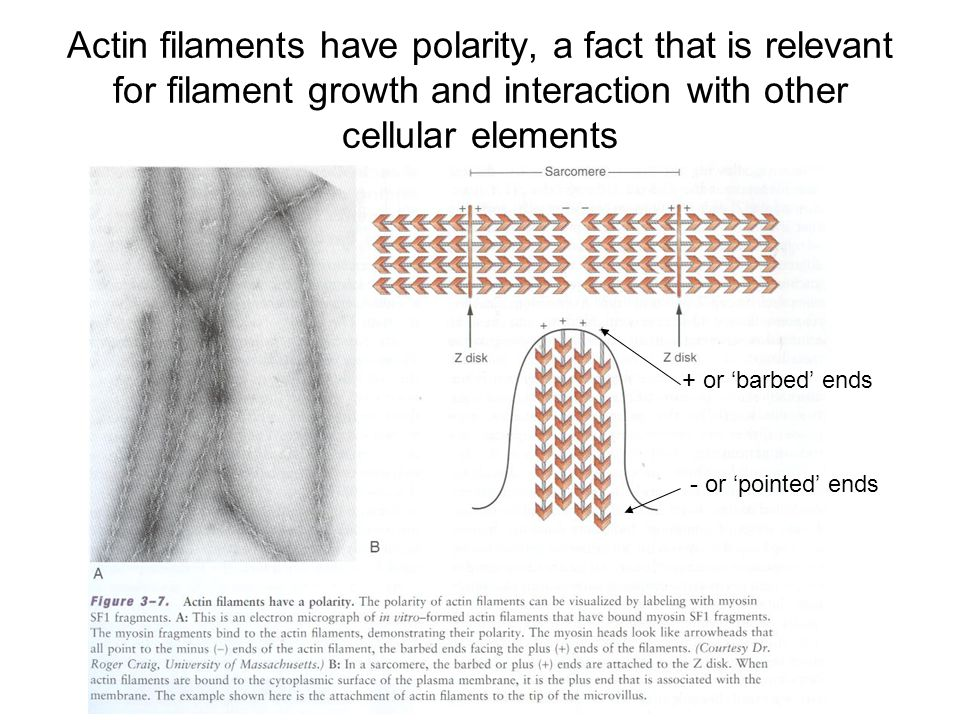 Actin filaments have polarity, a fact that is relevant for filament growth and interaction with other cellular elements + or 'barbed' ends - or 'pointed' ends