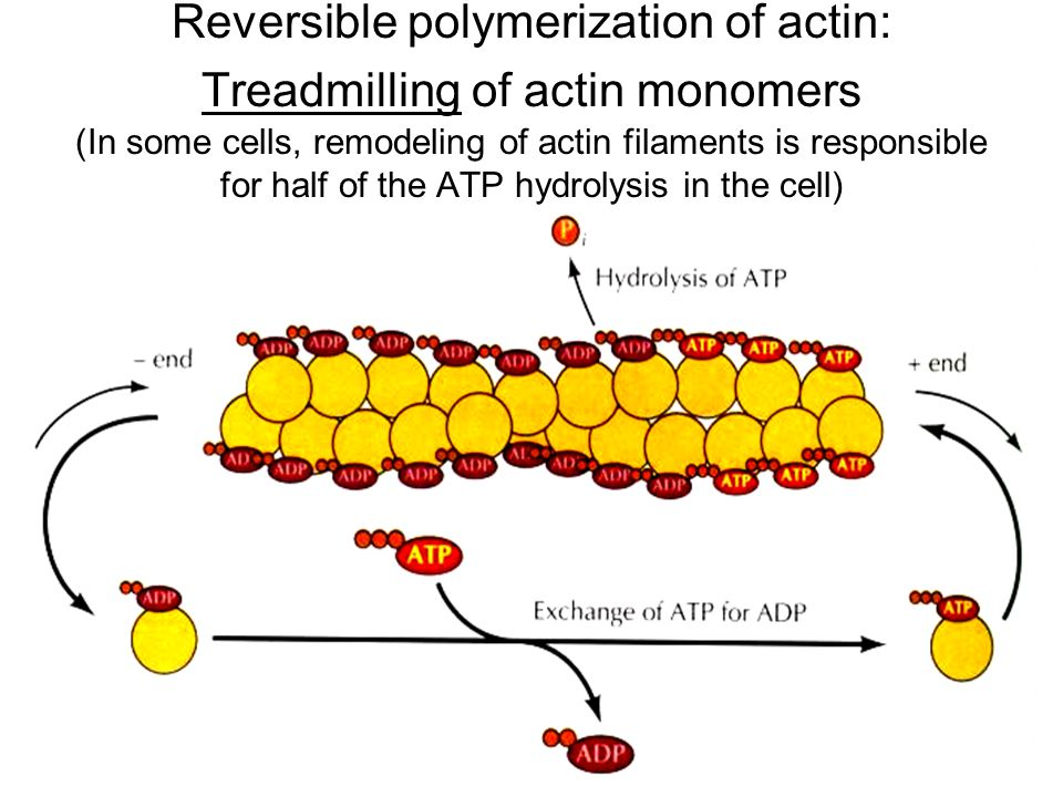 Reversible polymerization of actin: Treadmilling of actin monomers (In some cells, remodeling of actin filaments is responsible for half of the ATP hydrolysis in the cell)