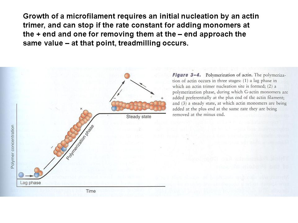 Growth of a microfilament requires an initial nucleation by an actin trimer, and can stop if the rate constant for adding monomers at the + end and on