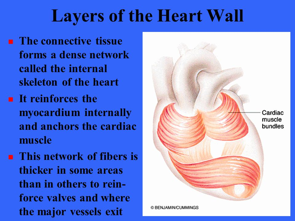 Layers of the Heart Wall The connective tissue forms a dense network called the internal skeleton of the heart It reinforces the myocardium internally