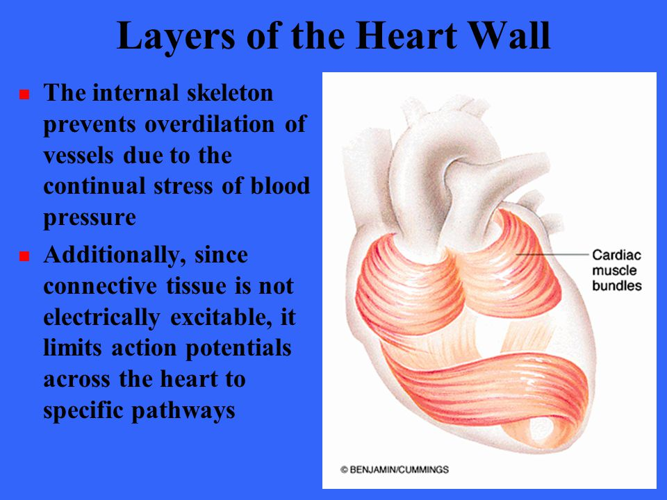 Layers of the Heart Wall The internal skeleton prevents overdilation of vessels due to the continual stress of blood pressure Additionally, since conn