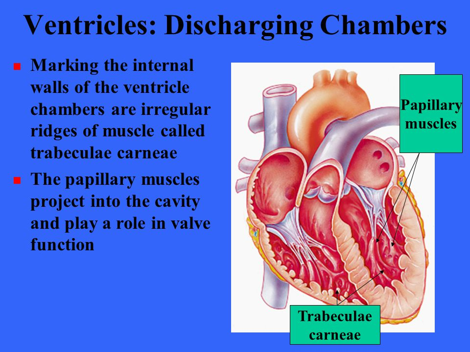 Ventricles: Discharging Chambers Marking the internal walls of the ventricle chambers are irregular ridges of muscle called trabeculae carneae The pap