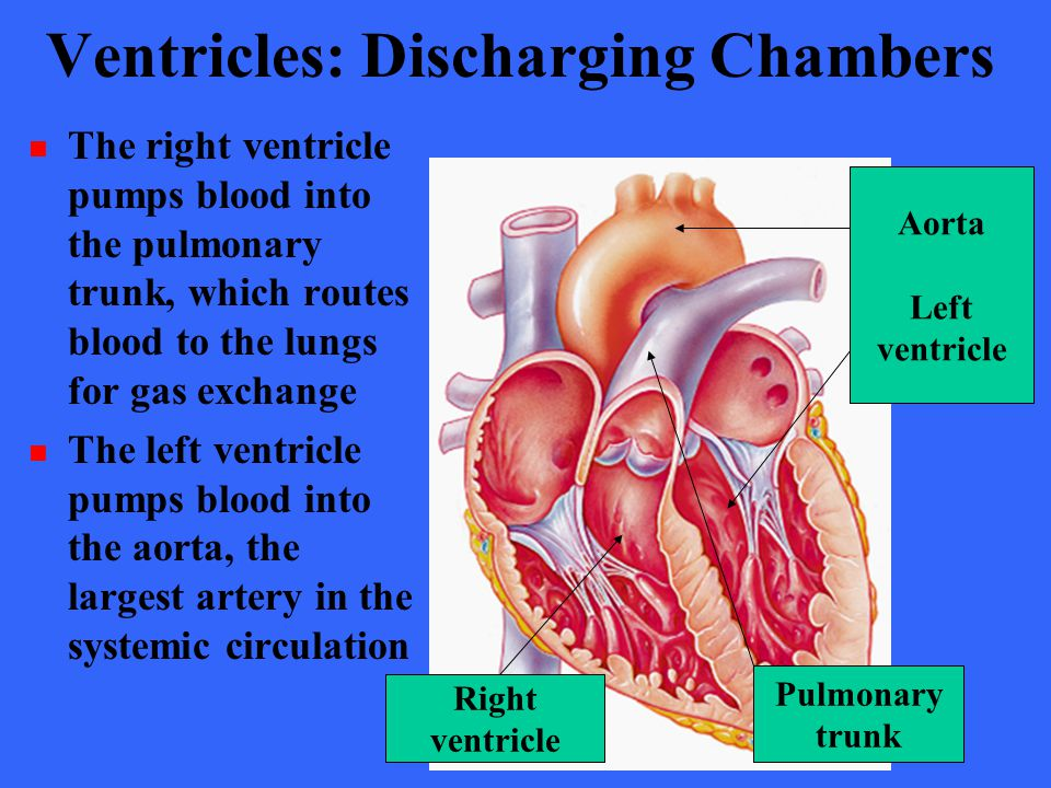 Ventricles: Discharging Chambers The right ventricle pumps blood into the pulmonary trunk, which routes blood to the lungs for gas exchange The left v