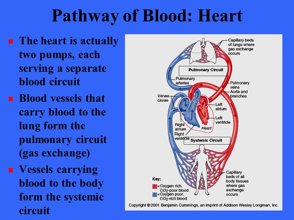 Pathway of Blood: Heart The heart is actually two pumps, each serving a separate blood circuit Blood vessels that carry blood to the lung form the pul