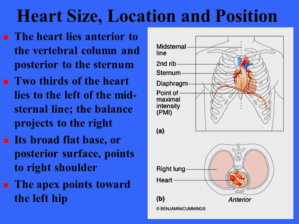 Heart Size, Location and Position The heart lies anterior to the vertebral column and posterior to the sternum Two thirds of the heart lies to the lef