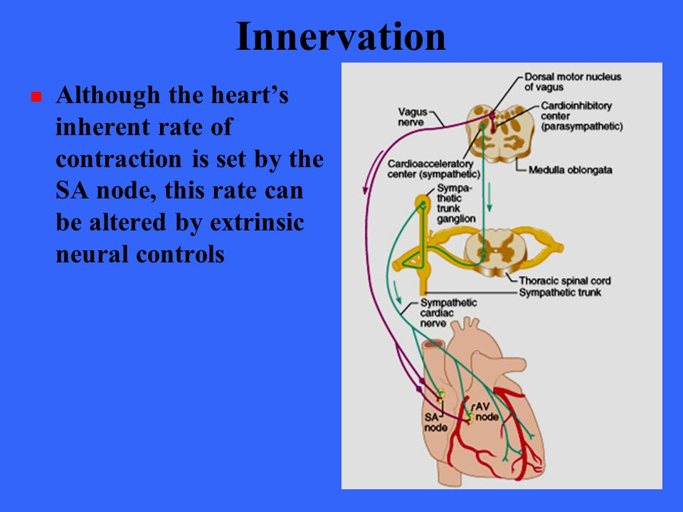 Innervation Although the heart's inherent rate of contraction is set by the SA node, this rate can be altered by extrinsic neural controls