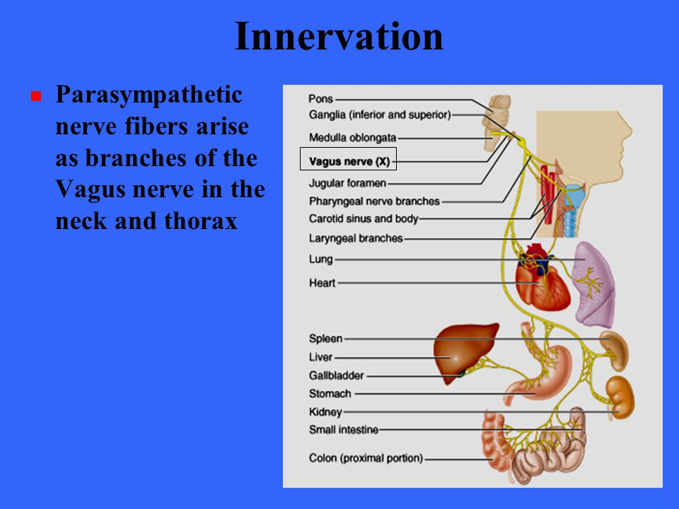 Innervation Parasympathetic nerve fibers arise as branches of the Vagus nerve in the neck and thorax