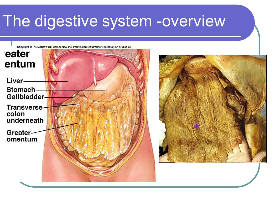 The digestive system -overview