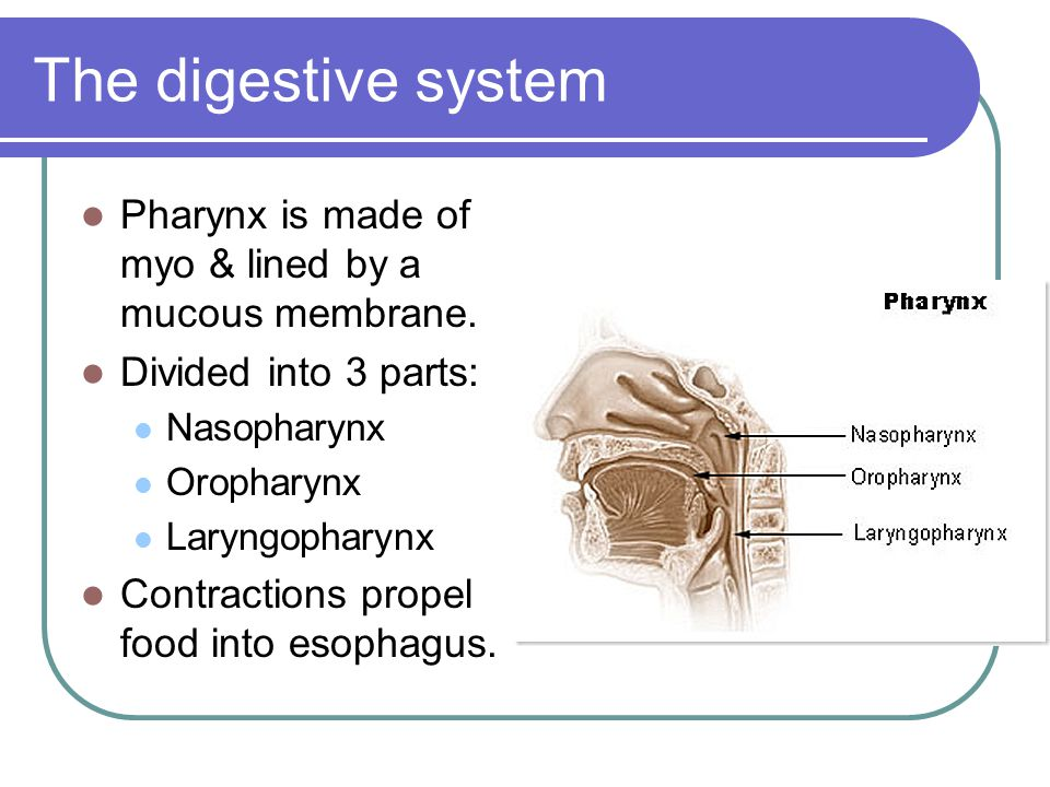 The digestive system Pharynx is made of myo & lined by a mucous membrane. Divided into 3 parts: Nasopharynx Oropharynx Laryngopharynx Contractions pro