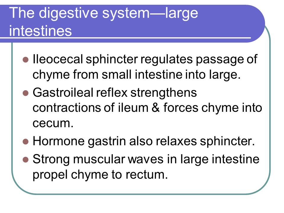 The digestive system—large intestines Ileocecal sphincter regulates passage of chyme from small intestine into large. Gastroileal reflex strengthens c