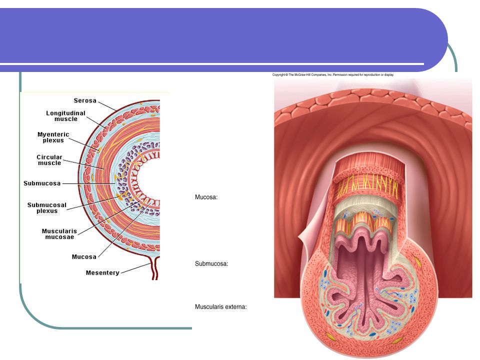 The digestive system -overview None of the digestive system is under voluntary control.