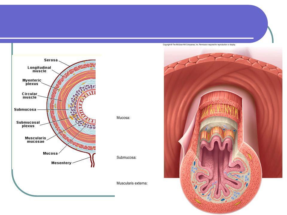 The digestive system—liver & gallbladder Fxn'l unit of liver is a lobule.