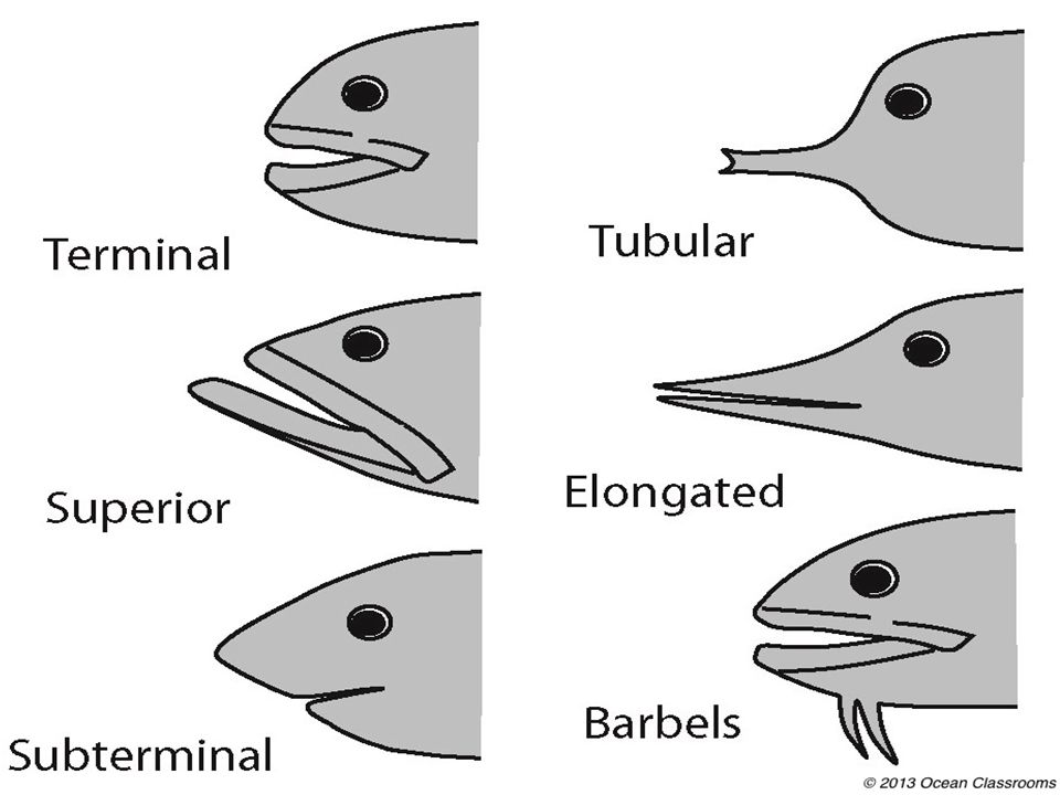 Mouth The mouth parts of a fish will vary in size and may or may not contain teeth, depending on what the fish eats.