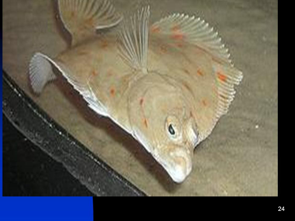 Form, Function & Adaptations Fluke Fluke or summer flounder is a flat-lying saltwater fish that lives on the sea floor. When born, fluke look like any