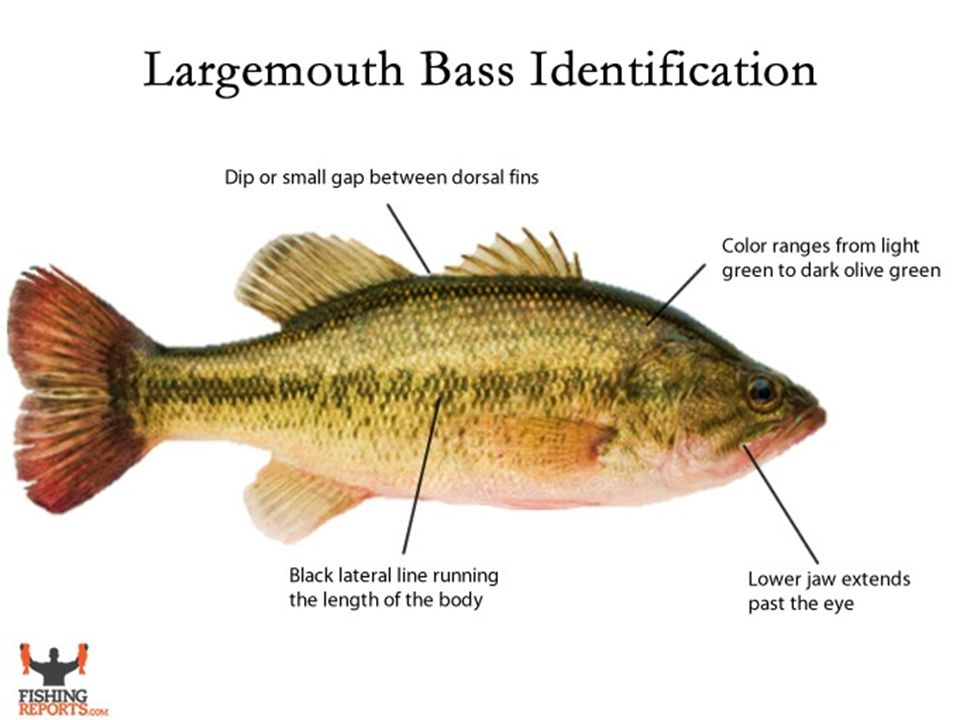 Largemouth Bass Largemouth bass live near the bottom of freshwater lakes, ponds, and streams.