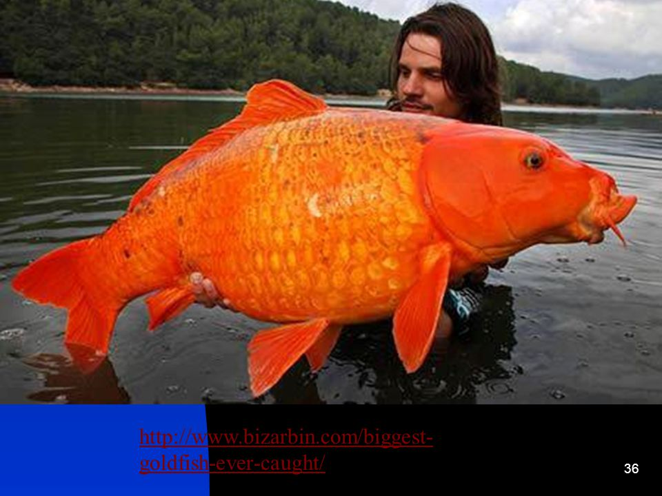 Gold Fish It was one of the earliest fish to be domesticated, and is one of the most commonly kept aquarium fish.fishdomesticatedaquarium fish Most common bought and kept fish in households.
