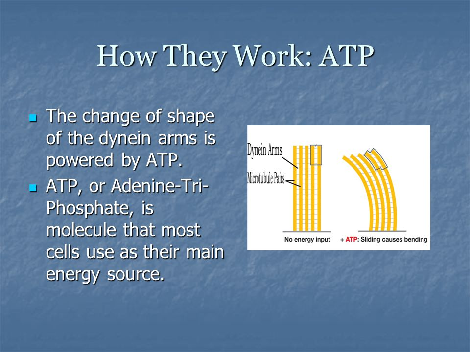 How They Work: ATP The change of shape of the dynein arms is powered by ATP.