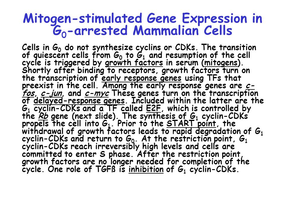 Mitogen-stimulated Gene Expression in G 0 -arrested Mammalian Cells Cells in G 0 do not synthesize cyclins or CDKs.