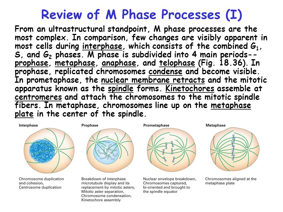 Review of M Phase Processes (II) In anaphase, sister chromatids of each duplicated chromosome separate and are drawn toward the two spindle poles.