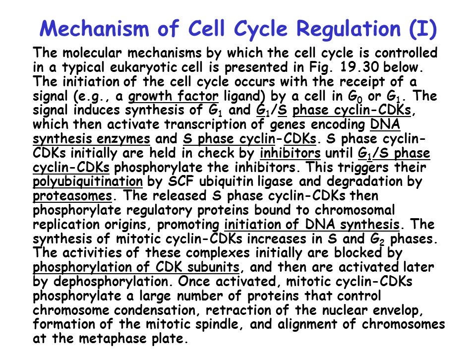 Subsequently, the anaphase promoting complex (APC/C), another ubiquitin ligase, polyubiquitinates a protein called securin which helps hold the sister chromatids of metaphase chromosomes together.