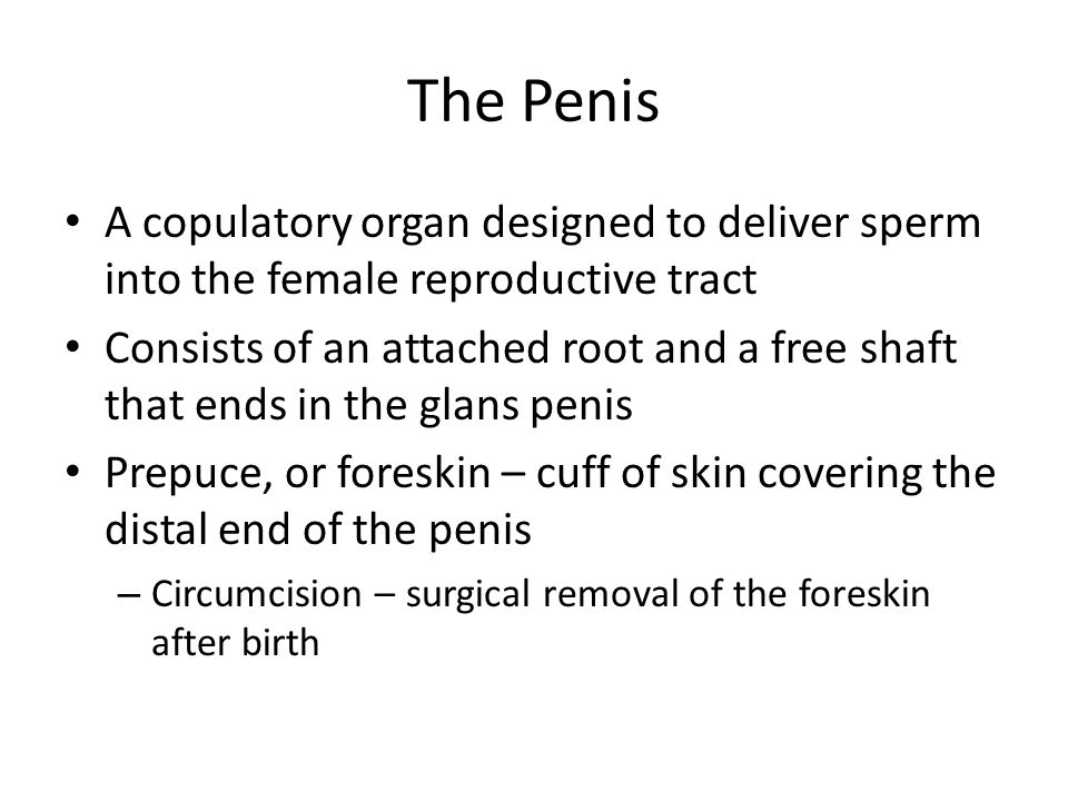 The Penis A copulatory organ designed to deliver sperm into the female reproductive tract Consists of an attached root and a free shaft that ends in t
