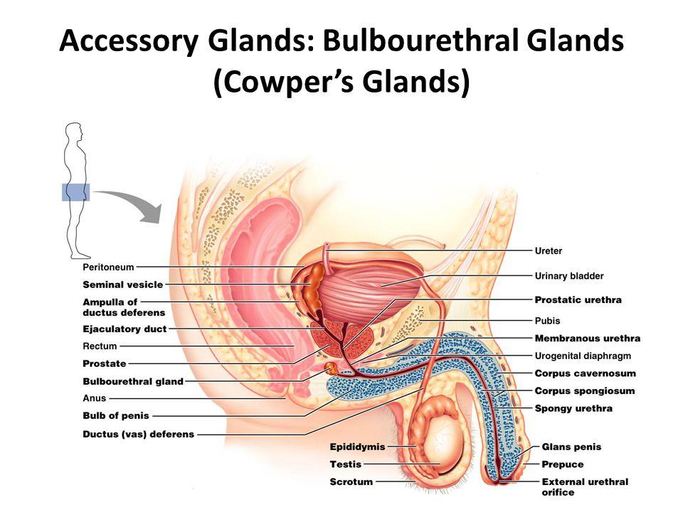 Accessory Glands: Bulbourethral Glands (Cowper's Glands)