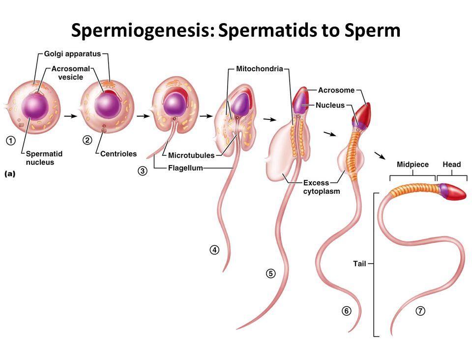 Spermiogenesis: Spermatids to Sperm