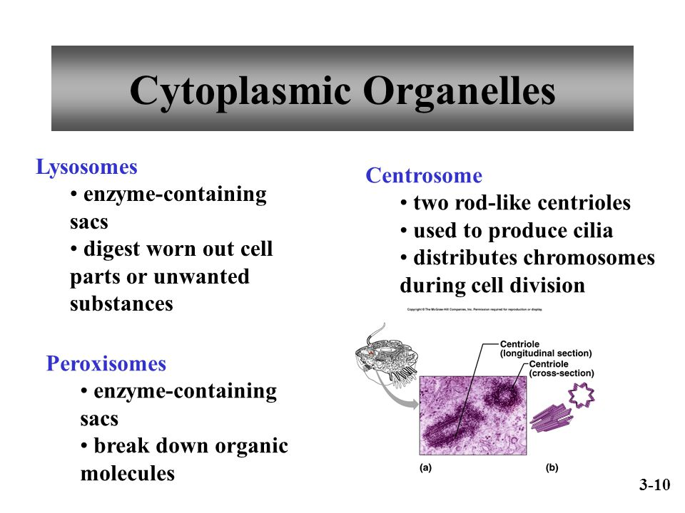 Cytoplasmic Organelles Lysosomes enzyme-containing sacs digest worn out cell parts or unwanted substances Peroxisomes enzyme-containing sacs break dow