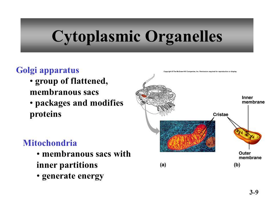 Cytoplasmic Organelles Golgi apparatus group of flattened, membranous sacs packages and modifies proteins Mitochondria membranous sacs with inner part