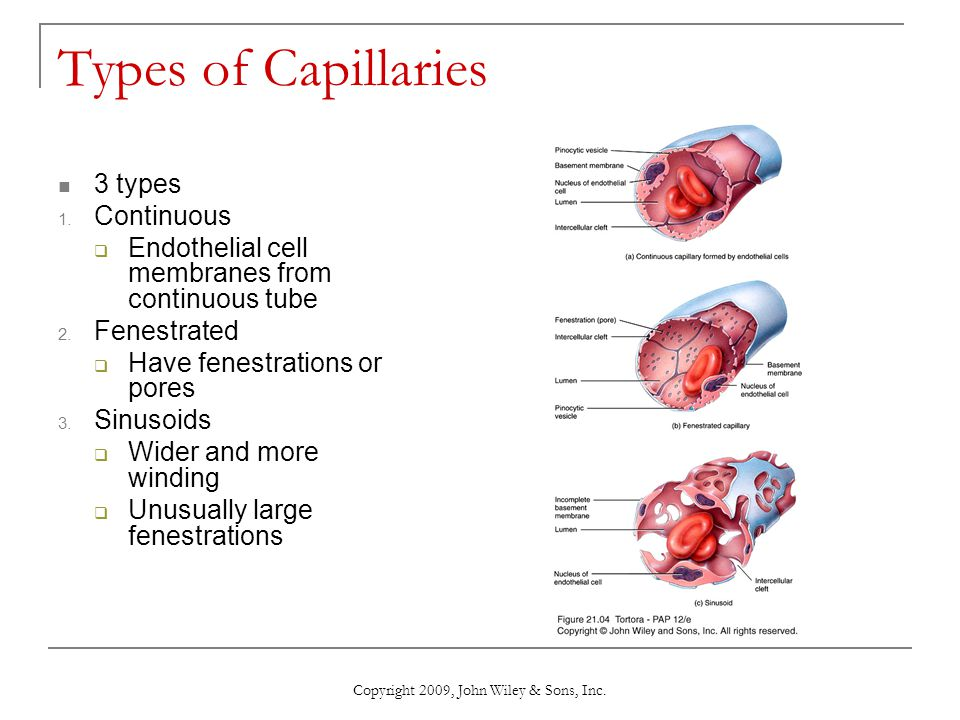 Copyright 2009, John Wiley & Sons, Inc. Types of Capillaries 3 types 1. Continuous  Endothelial cell membranes from continuous tube 2. Fenestrated 