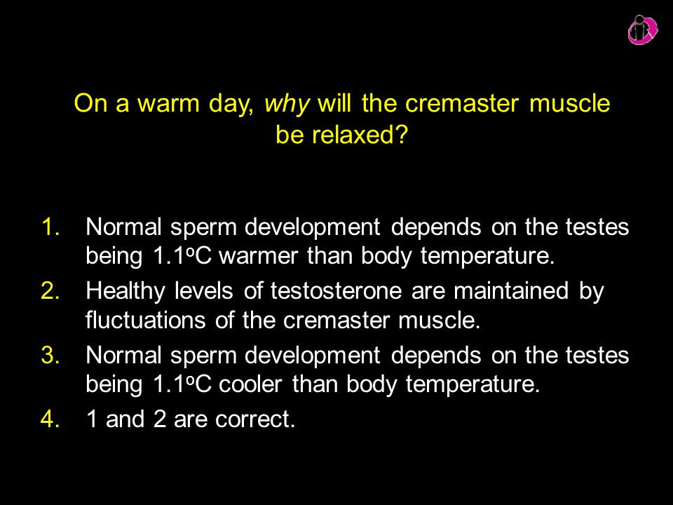 On a warm day, why will the cremaster muscle be relaxed? 1.Normal sperm development depends on the testes being 1.1 o C warmer than body temperature.