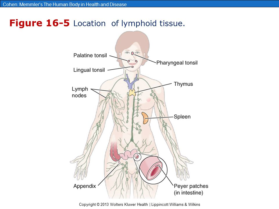 Copyright © 2013 Wolters Kluwer Health | Lippincott Williams & Wilkins Cohen: Memmler's The Human Body in Health and Disease Figure 16-5 Location of l
