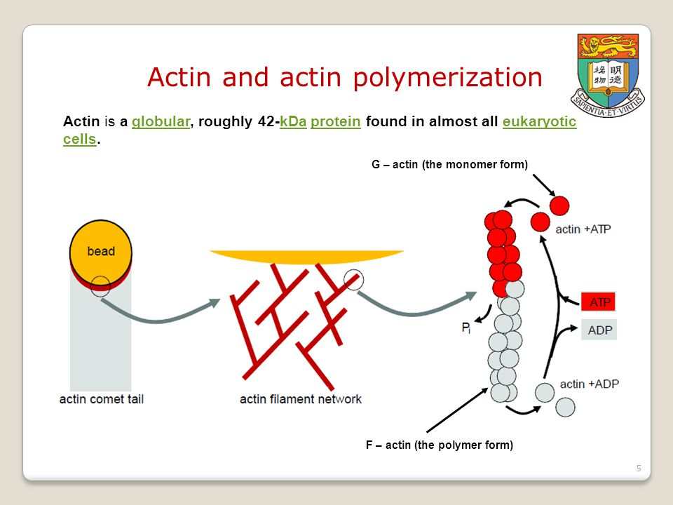 Actin and actin polymerization Actin is a globular, roughly 42-kDa protein found in almost all eukaryotic cells.globularkDaproteineukaryotic cells G – actin (the monomer form) F – actin (the polymer form) 5