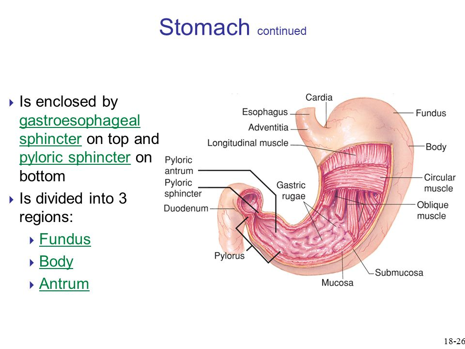 Stomach continued  Is enclosed by gastroesophageal sphincter on top and pyloric sphincter on bottom  Is divided into 3 regions:  Fundus  Body  An