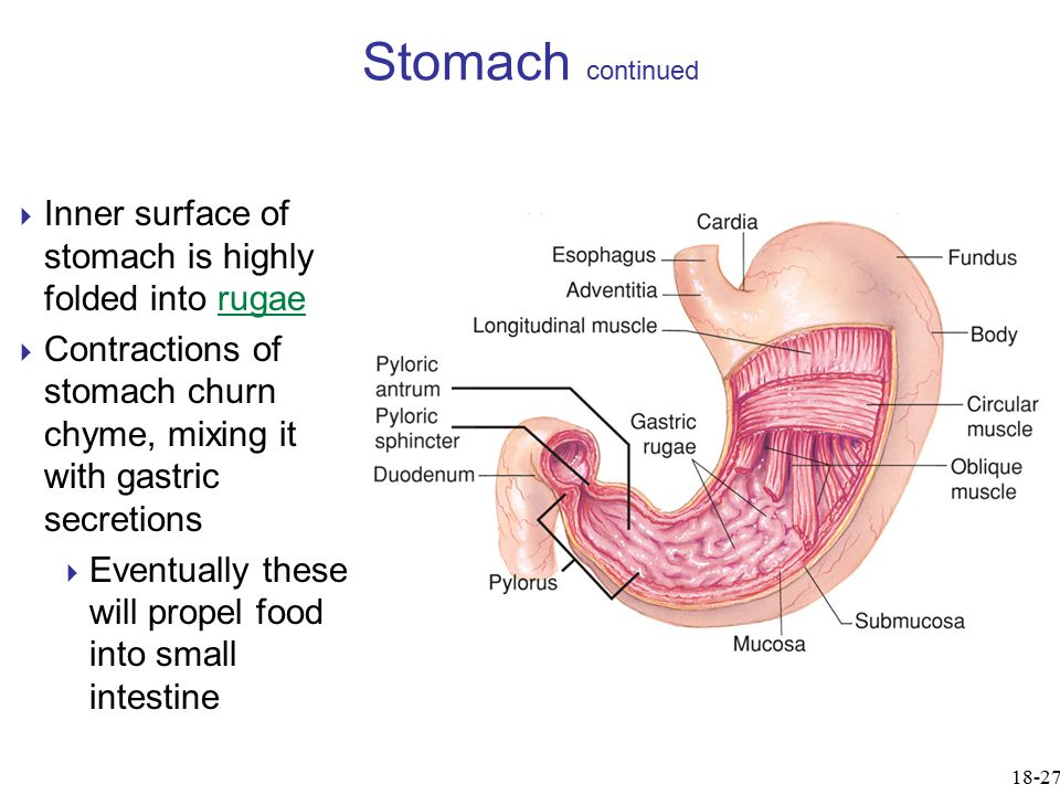  Inner surface of stomach is highly folded into rugae  Contractions of stomach churn chyme, mixing it with gastric secretions  Eventually these wil