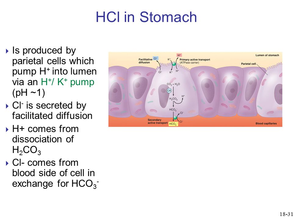 HCl in Stomach  Is produced by parietal cells which pump H + into lumen via an H + / K + pump (pH ~1)  Cl - is secreted by facilitated diffusion  H+ comes from dissociation of H 2 CO 3  Cl- comes from blood side of cell in exchange for HCO 3 - 18-31