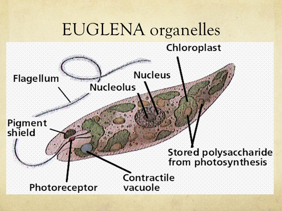 EUGLENA organelles