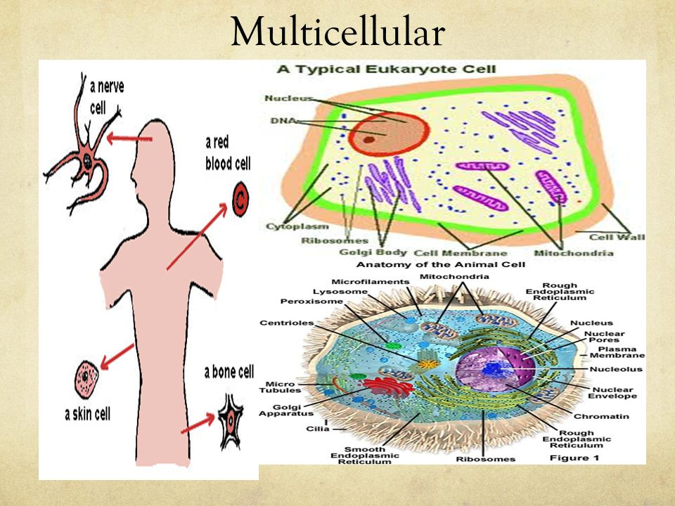 Animal Cell Structure and Cell Function