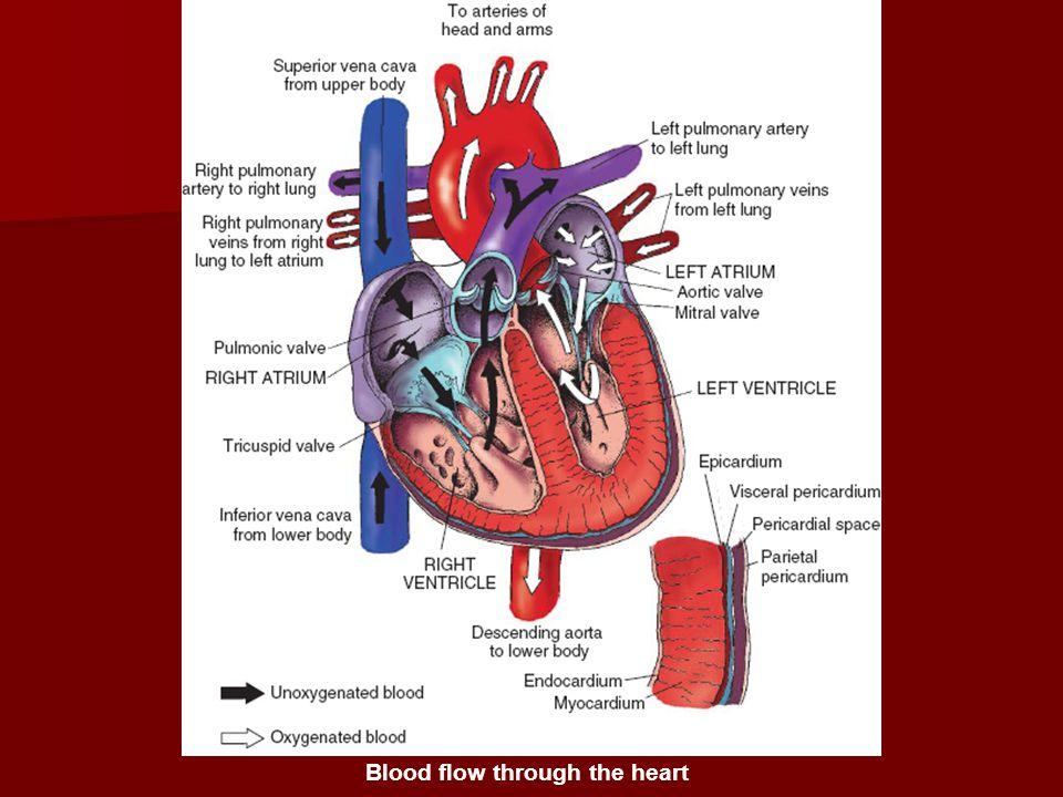 ATRIOVENTRICULAR VALVES The AV valves separate the atria from the ventricles.
