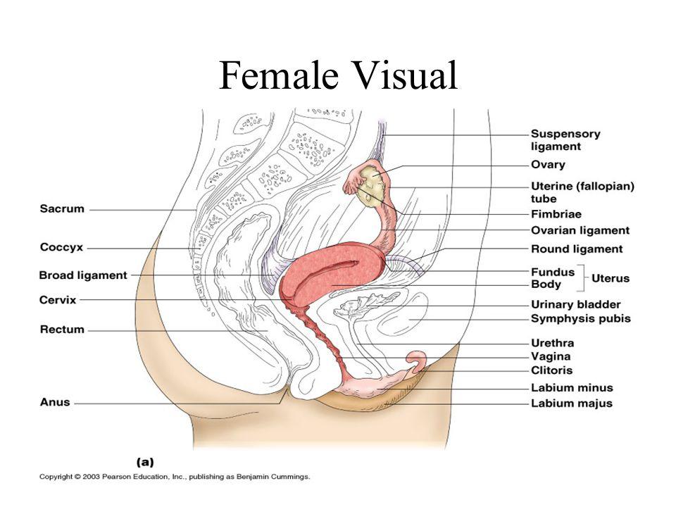 Female Visual