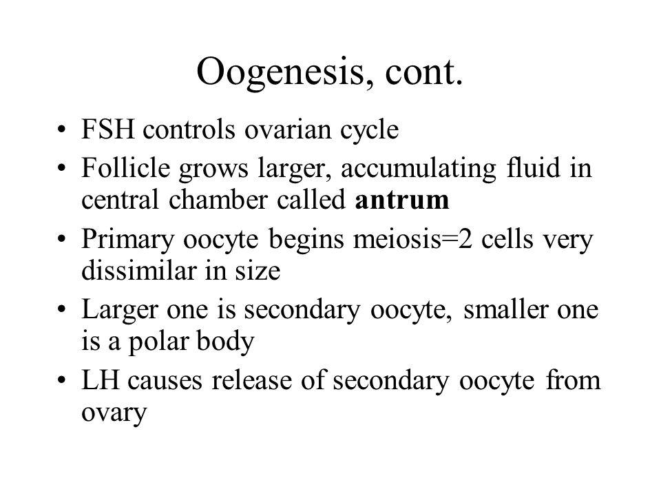 Oogenesis, cont.
