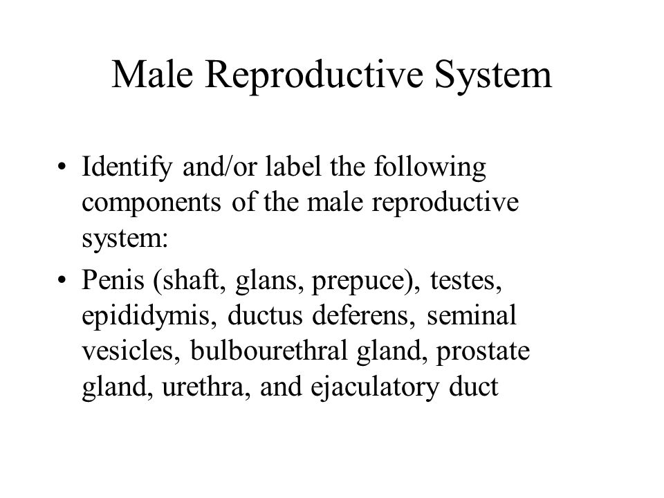 Male Reproductive System Identify and/or label the following components of the male reproductive system: Penis (shaft, glans, prepuce), testes, epididymis, ductus deferens, seminal vesicles, bulbourethral gland, prostate gland, urethra, and ejaculatory duct