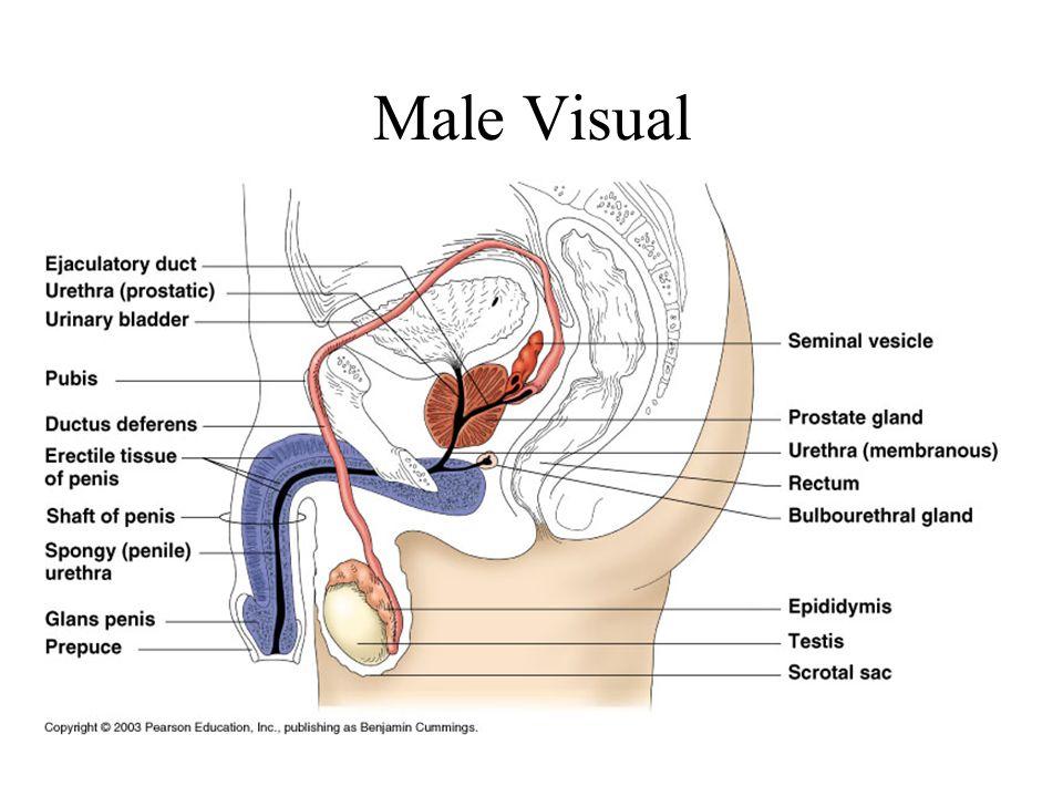 Male Visual