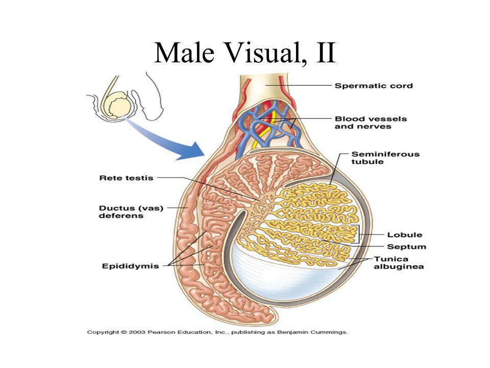 Male Visual, II