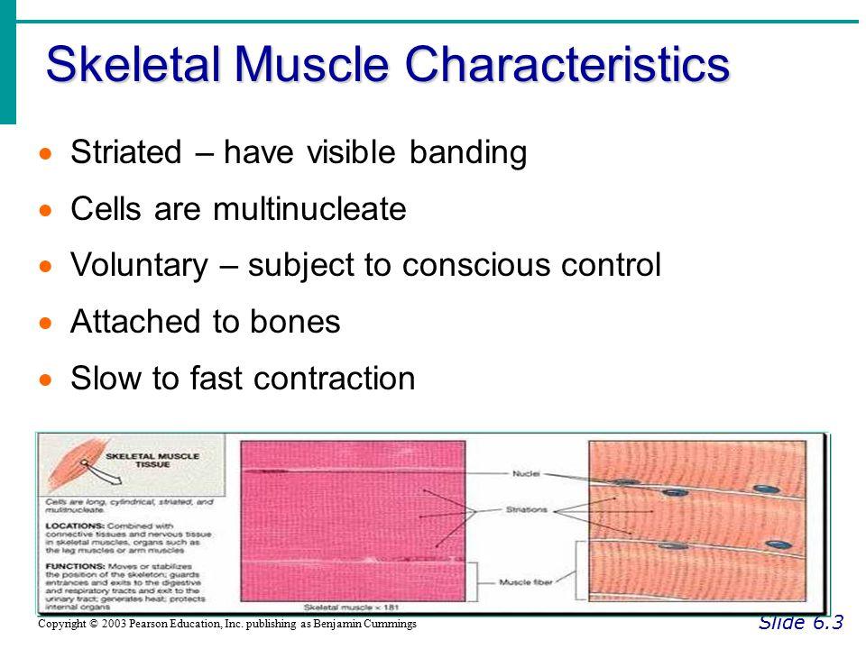 Microscopic Anatomy of Skeletal Muscle Slide 6.9b Copyright © 2003 Pearson Education, Inc.